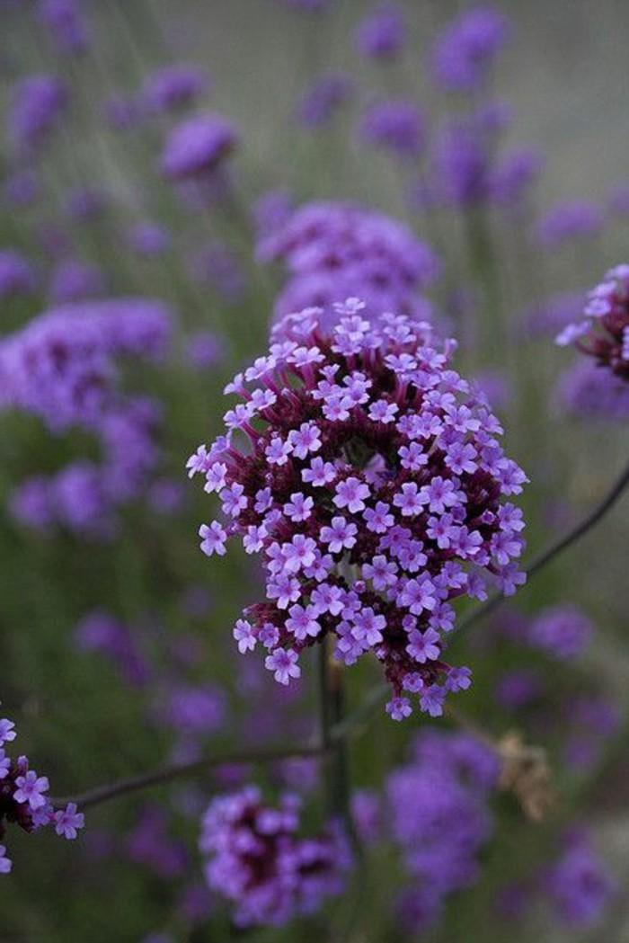 zärtliche-romantische-Blumensorten-Blume-mit-kleinen-lila-Blüten