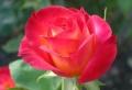 Bilder von Rosen – die Schönheit behalten