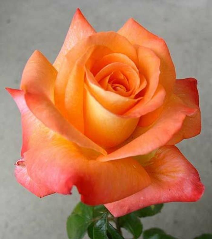 Bilder-von-Rosen-in-orange-Farbe