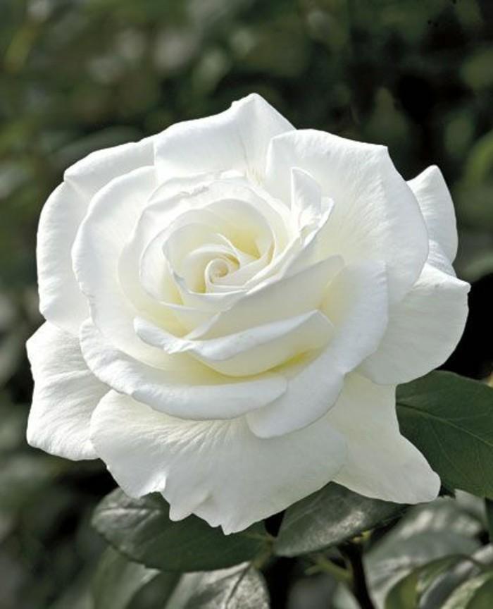 Bilder-von-Rosen-in-weißer-Farbe