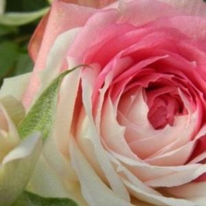 Bilder von Rosen - die Schönheit behalten