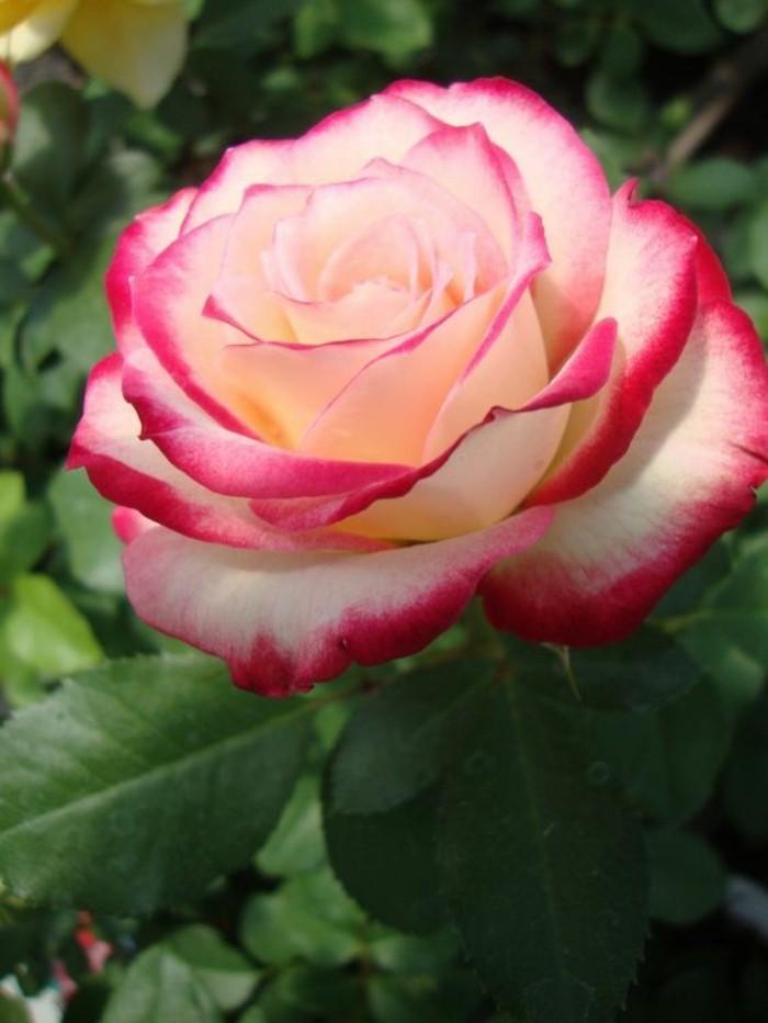 Bilder-von-Rosen-rosa-und-weiß