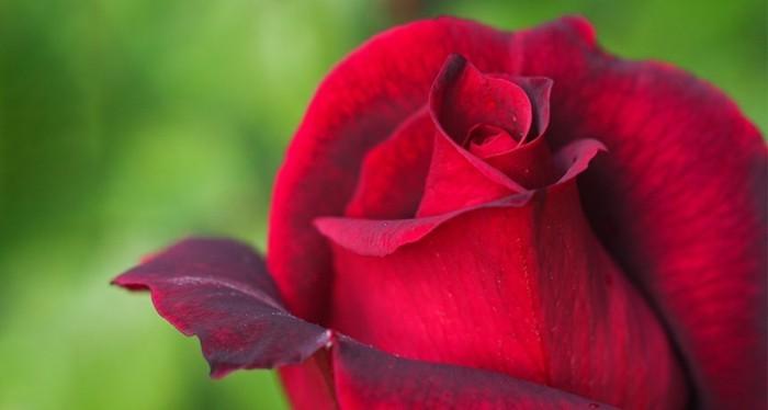 Rote-Rosen-Bilder-halb-geblüht