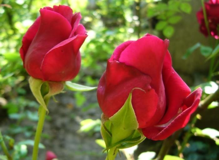 Rote-Rosen-Bilder-zwei-Augen