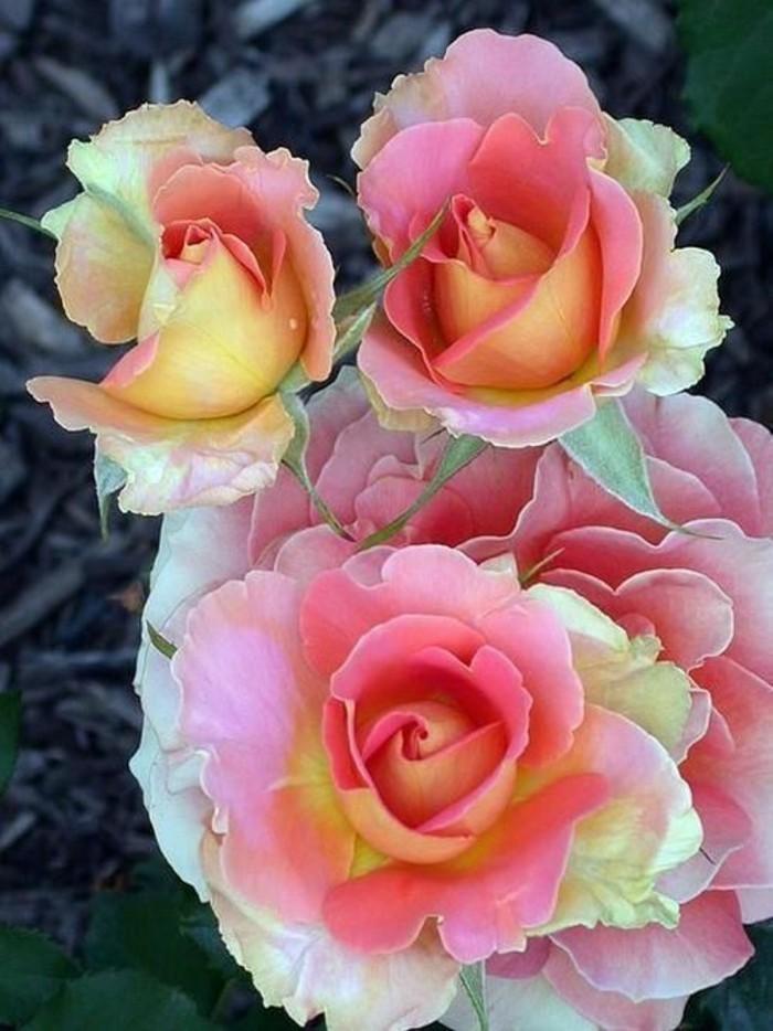 Schöne-Rosen-Bilder-einfach-faszinierend