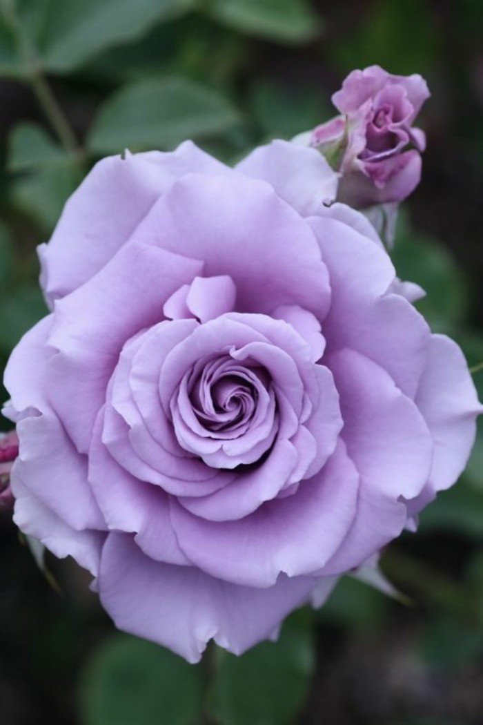 Schöne-Rosen-Bilder-in-lila-Farbe