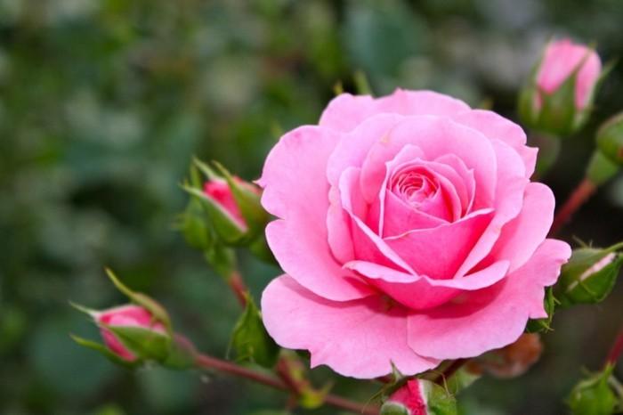 Schöne-Rosen-Bilder-von-Augen-umgeben