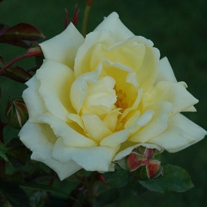 Schöne-Rosen-Bilder-von-weißer-Rose