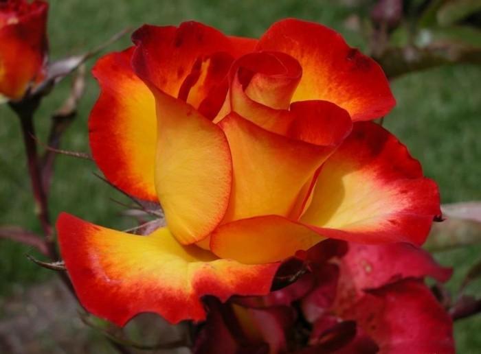 Wandbilder-Rosen-sehr-schön-und-zärtlich