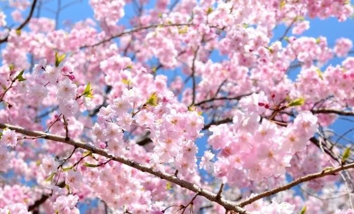 Beste-Reisezeit-Japan-im-Frühling