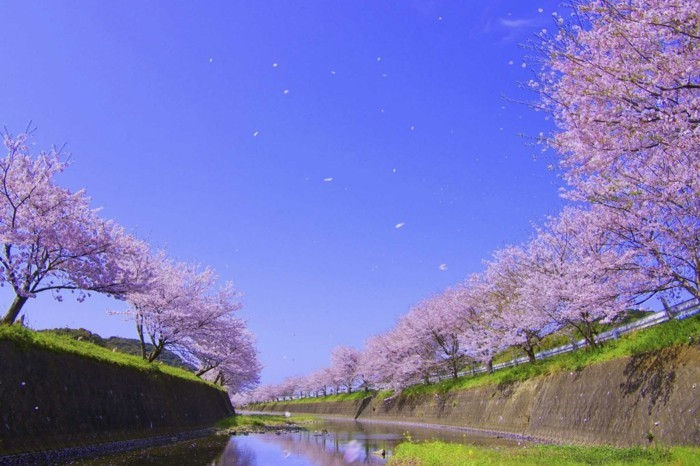 Beste-Reisezeit-Japan-ist-bei-Kirschenblüte