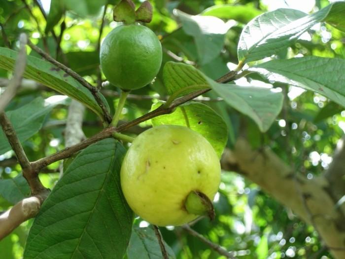 Exotische-Obstsorten-Guaven-mit-Blättern