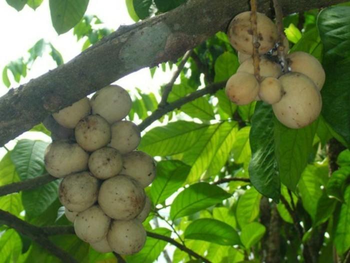 Exotische-Obstsorten-zum-Pflücken-fertig