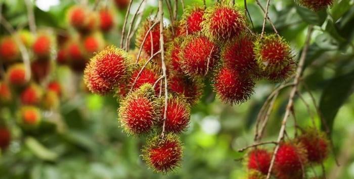 Exotisches-Obst-viele-rote-Bällchen-hängend