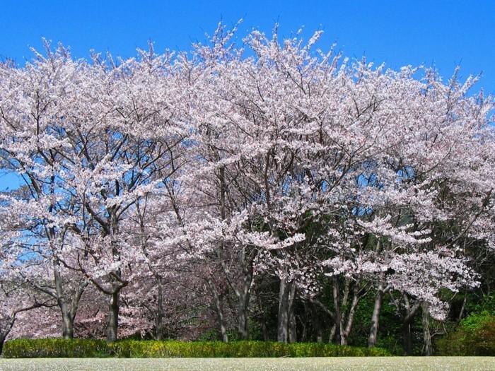 Japanische-Kirschblüte-über-glänzendes-Wasser
