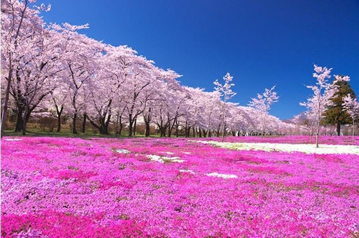 Japanische-Kirschblüte-auf-den-Boden-gefallen