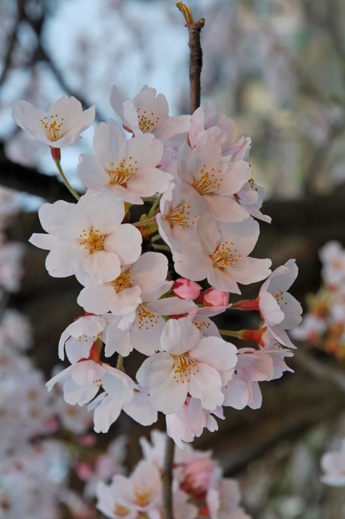 Japanische-Kirschblüte-aus-der-Stadt-Fukuschima