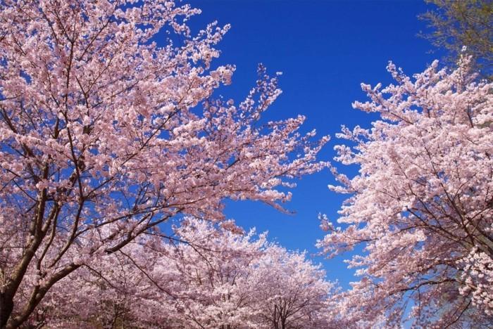 Japanische-Kirschblüte-den-Himmel-als-Hintergrund
