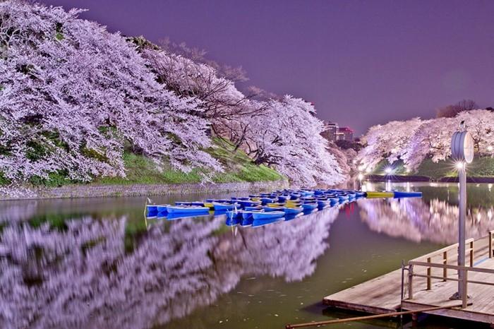 Japanische-Kirschblüte-eine-Malerei-davon-inspiriert
