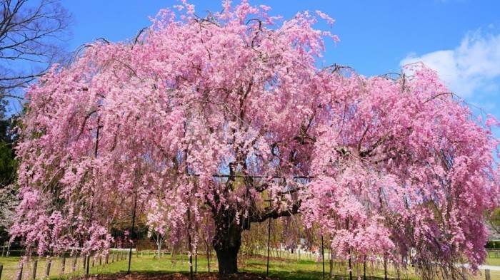 Japanische-Kirschblüte-einfach-faszinierende-Farbe