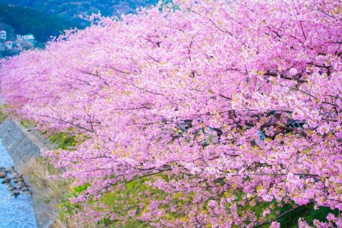 Japanische-Kirschblüte-in-dem-Gebirge
