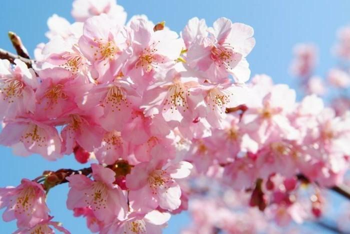 Japanische-Kirschblüte-ist-kurz-aber-bildschön