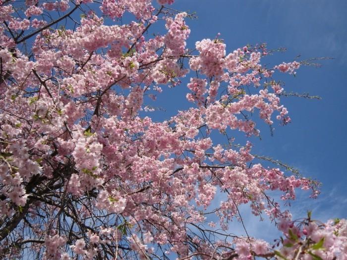 Japanische-Kirschblüte-ist-so-wunderbar
