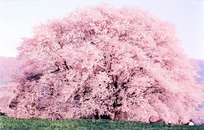 Japanische-Kirschblüte-mit-sehr-prächtiger-Krone