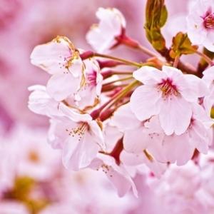 Japanische Kirschblüte – erleben Sie Japan