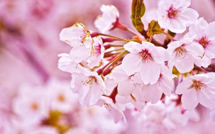 Japanische-Kirschblüte-mit-zärtlichen-Blumen