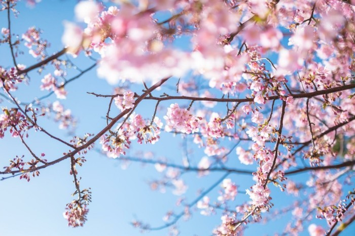 Japanische-Kirschblüte-nennt-man-Sakura