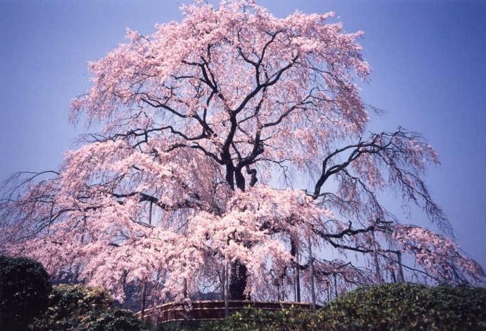 Japanische-Kirschblüte-wie-eine-Prinzessin