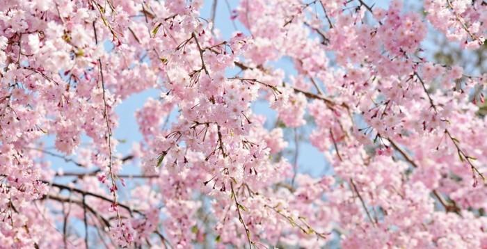 Kirschblüte-in-Japan-Freude-für-das-Auge