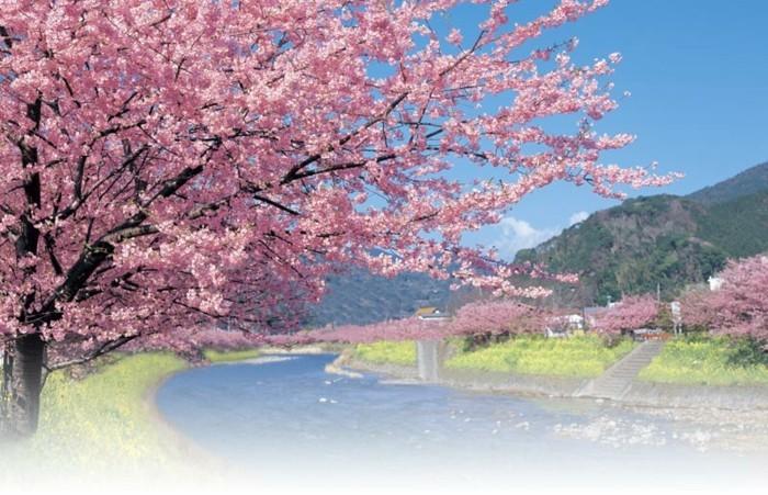 Kirschblüte-in-Japan-auf-dem-Land