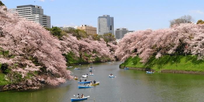 Kirschblüte-in-Japan-die-Verliebte-in-Booten