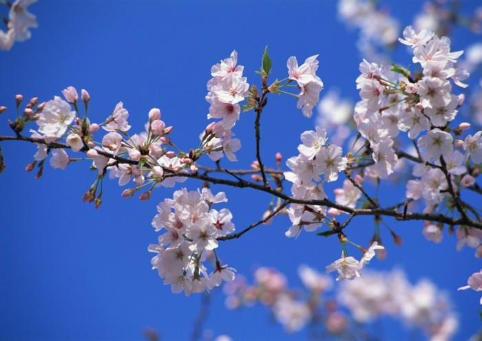 Kirschblüte-in-Japan-ein-einsamer-Ast