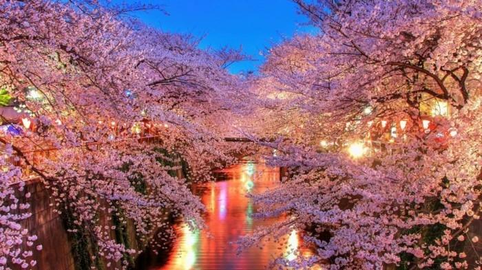 Kirschblüte-in-Japan-in-der-Nacht