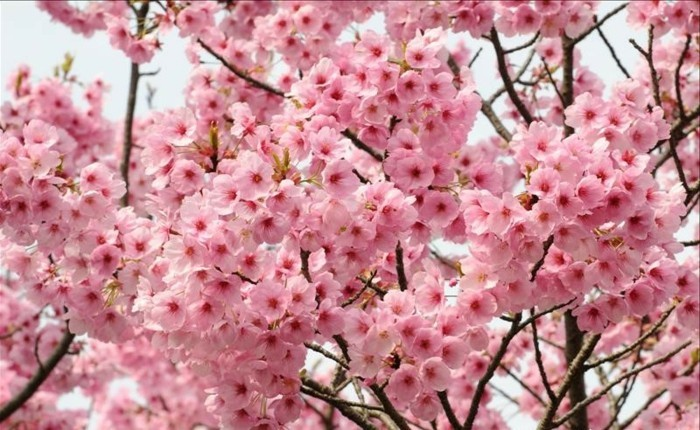 Kirschblüte-in-Japan-so-faszinierend