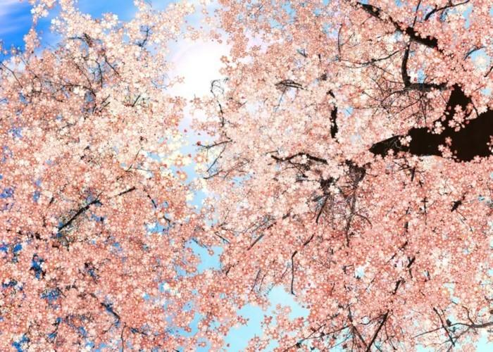 Kirschblüte-in-Japan-und-die-Sonne