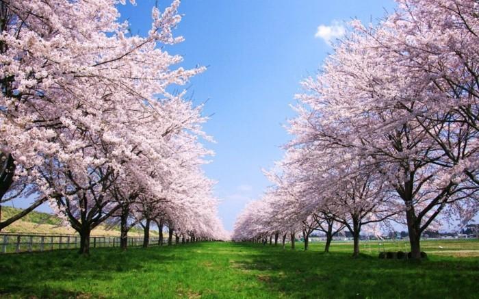 Kirschblüte-in-Japan-und-viel-Grass