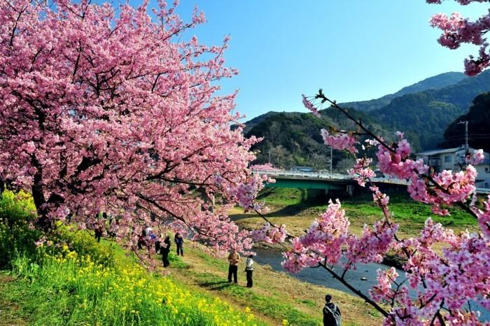Kirschblütenfest-Japan-alle-wollen-das-sehen