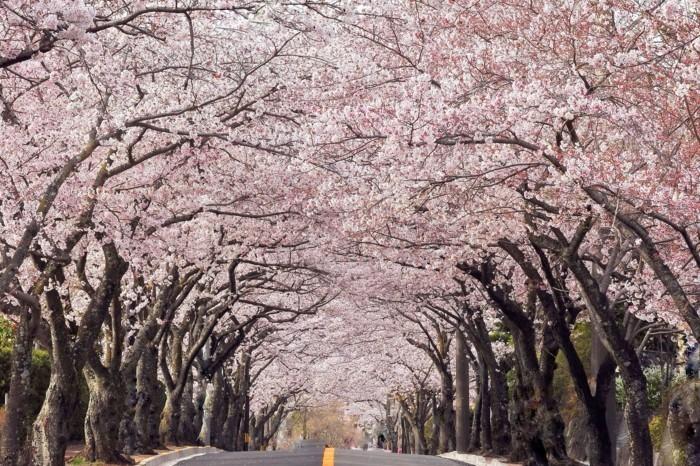 Kirschblütenfest-Japan-der-Weg-ist-bildschön