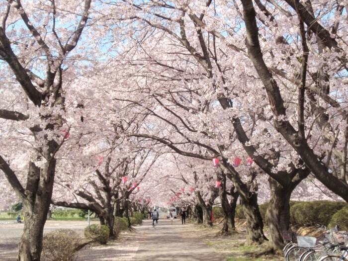 Kirschblütenfest-Japan-mit-hängenden-Lampen