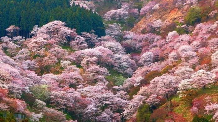 Kirschblütenfest-Japan-von-oben-fotografiert