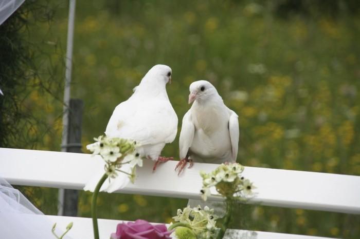 Tauben-zur-Hochzeit-auf-einem-Zaun