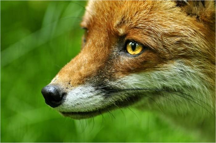Tierpark-Hamburg-einen-Fuchs-sieht-dich