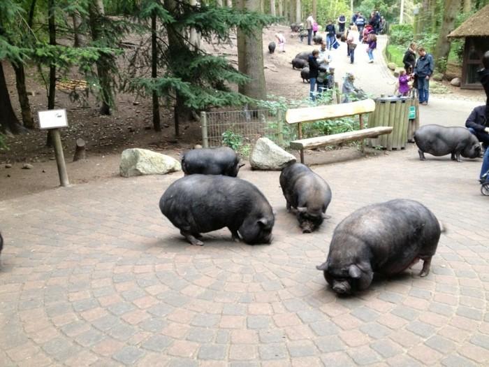 Tierpark-Schwarze-Berge-Wildschweine-auf-dem-Weg