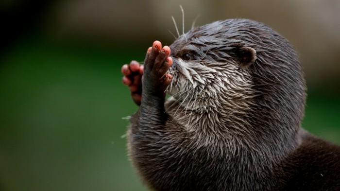 Wildpark-Schwarze-Berge-ein-Otter-mit-Hände-Hoch