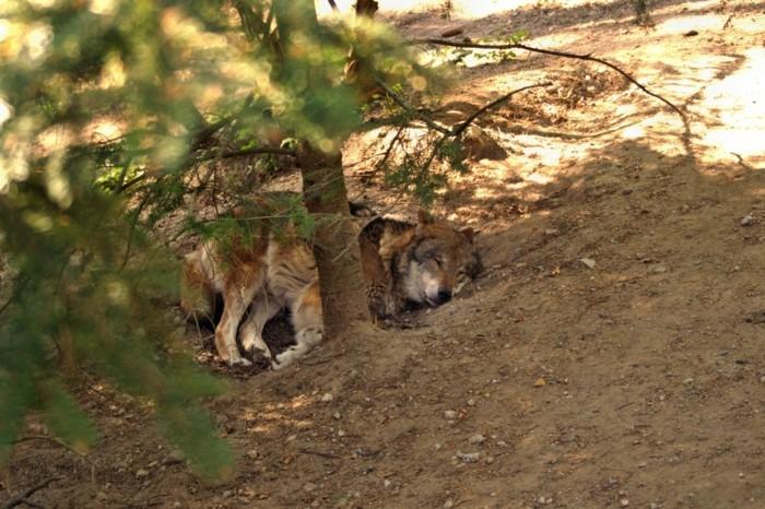 Wildpark-Schwarze-Berge-ein-Wolf