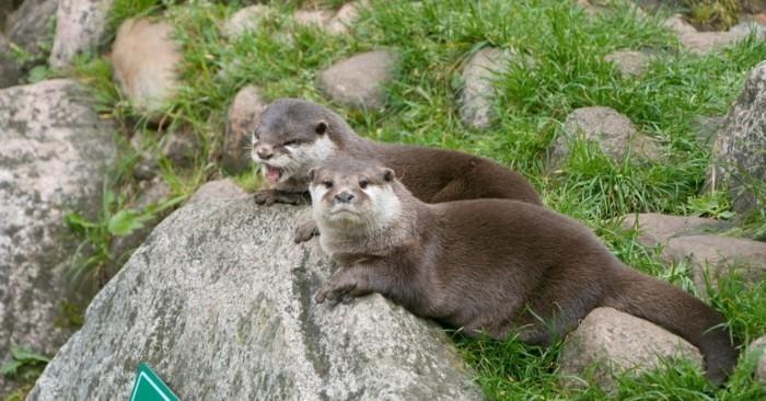 Wildpark-Schwarze-Berge-zwei-Otter-erholen-sich
